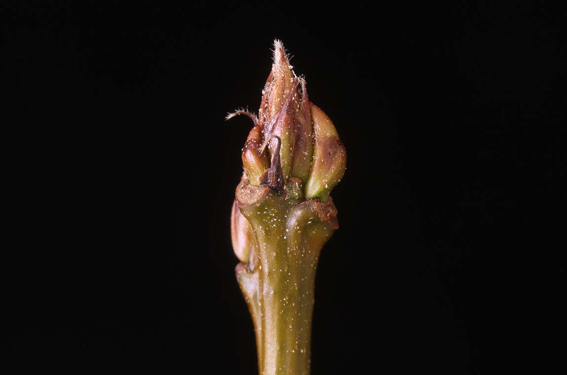 New insights on dormancy in tree buds