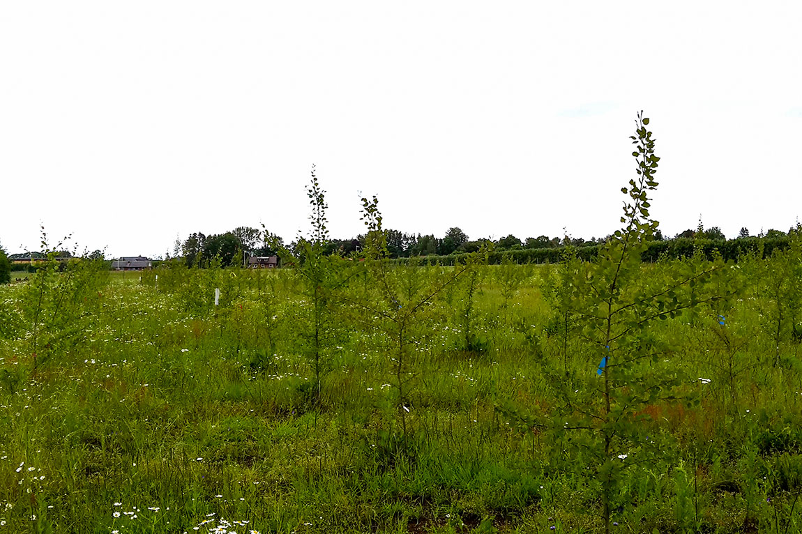 Transgenic trees perform well in a Swedish field trial
