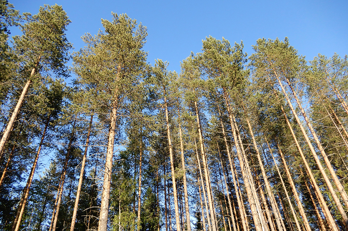 Swedish pine forest (photo taken by Sonali Ranade)