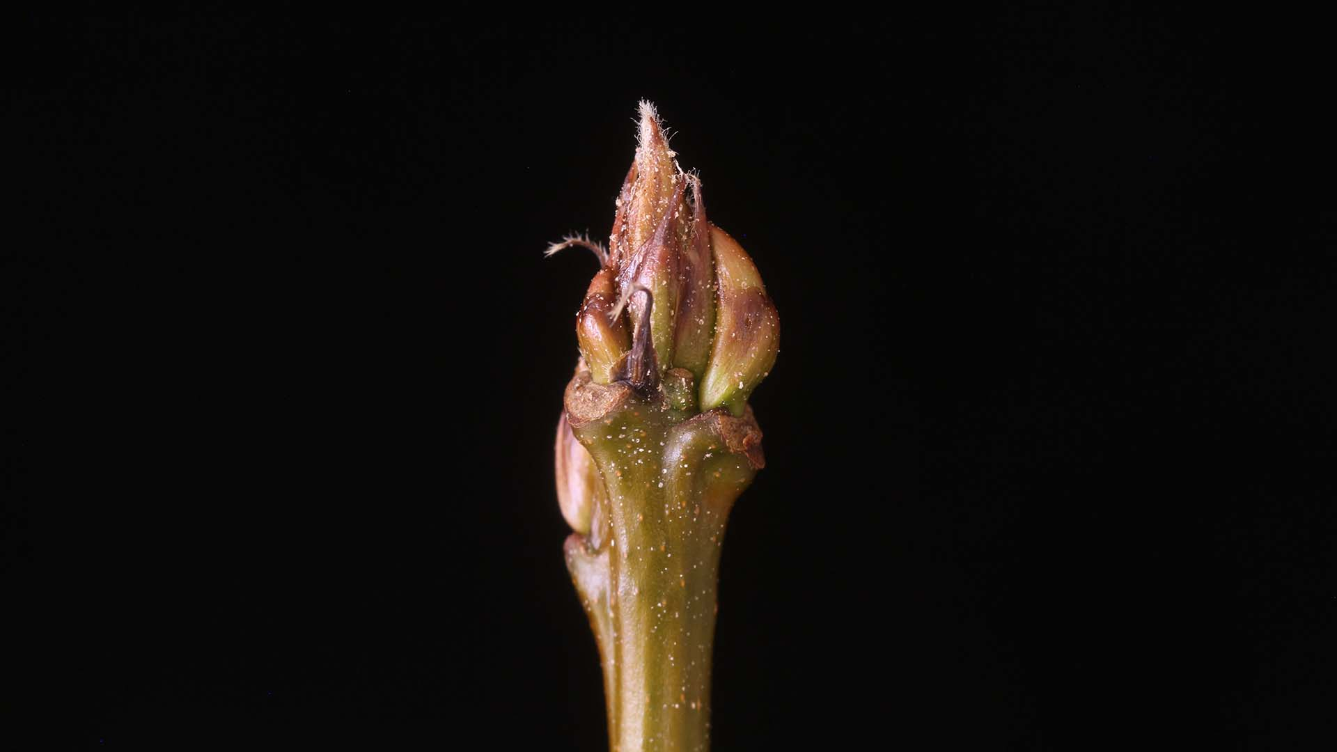 Bud from the model organism hybrid aspen (Populus tremula x Populus tremuloides); Photo taken by Pal Miskolczi