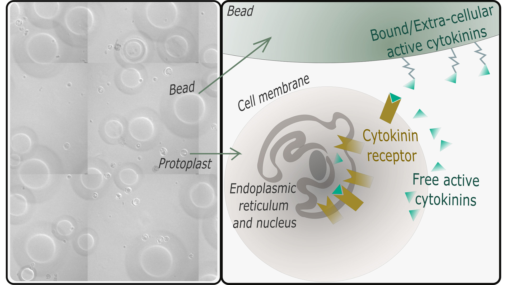 Left: Microscopic photo of isolated plant cells from Thale cress roots (protoplasts, small circles) next to sepharose beads with bound cytokinin molecules (big circles). The cell wall of the plant cells was removed with digesting proteins leaving only the cell surrounding plasma membrane.  Right: Graphic illustrating the results of the Nature Communications article. The common view was that active cytokinin binds to cytokinin receptors that are located in the endoplasmic reticulum - a membrane system in the plant cell. The researchers showed that active cytokinins are available outside and inside of the plant cell and that cytokinin receptors are also located in the plasma membrane of the cell. They used active cytokinin molecules bound to sepharose beads that are bigger than the plant cell to prove that the receptors in the plasma membrane are fully functional and can also initiate a typical cytokinin response in the cell. (Figure: Ioanna Antoniadi)