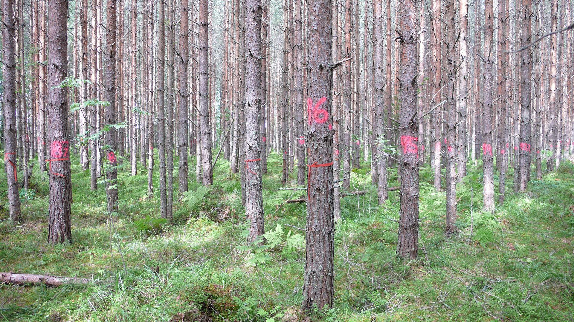 One of Irena Fundová's trial plots - a Scots pine progeny test that is used for breeding (photo: Irena Fundová)