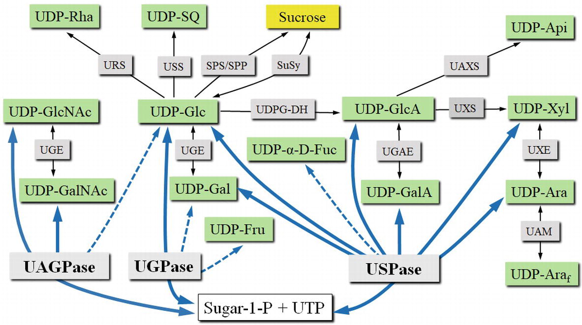 Substrate specificity of UDP-sugar producing enzymes (Decker and Kleczkowski, 2019)