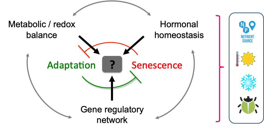 Mutual antagonistic relationship between adaptation and induction of senescence in response to a stress (e.g. nutrient deficiency, light regime, temperatures, pathogene infection, etc).