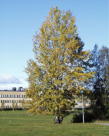 "Our ""favourite aspen"", growing on the campus in Umeå."