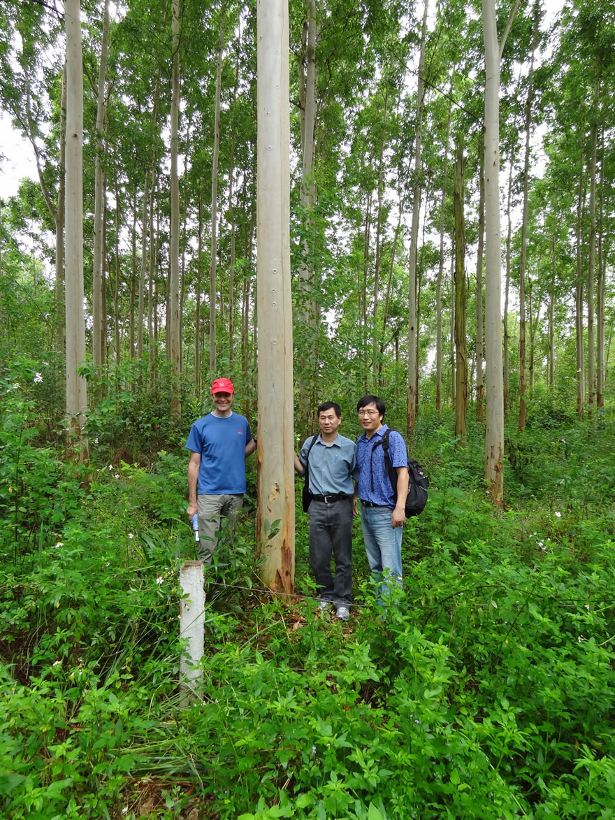 Inspecting Eucalypt Plus Tree in China