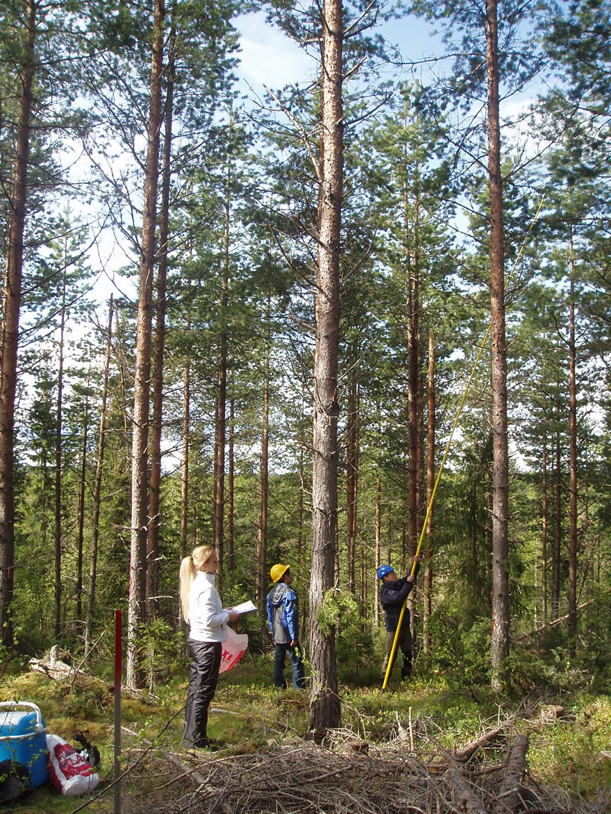 Sampling for phenology and DNA in Scots pine
